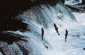 sockeye salmon return